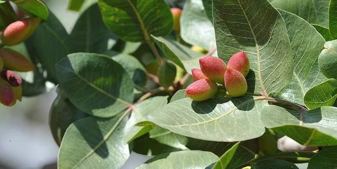 50 yılda meyve veriyordu bakımla 6 yıla düştü