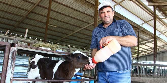Tuna: Süt inekleri kasaplık oluyor