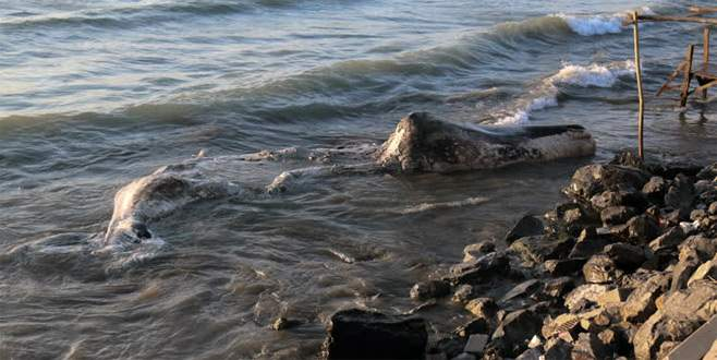 Hatay'da beyaz balina kıyıya vurdu