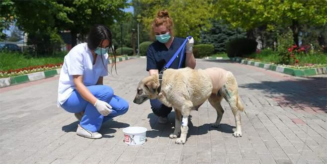 Bursa'da karnında tümör bulunan sokak köpeği ameliyatla hayata tutundu