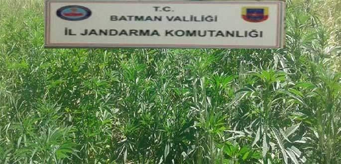 Batman'da 2 bin 450 kök kenevir ele geçirildi