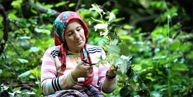 Dünyanın en büyük ıhlamur ormanında hasat başladı