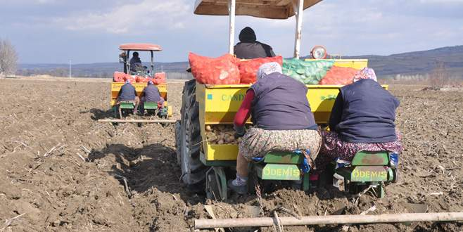 İnegöl'de patates hasadı başlıyor