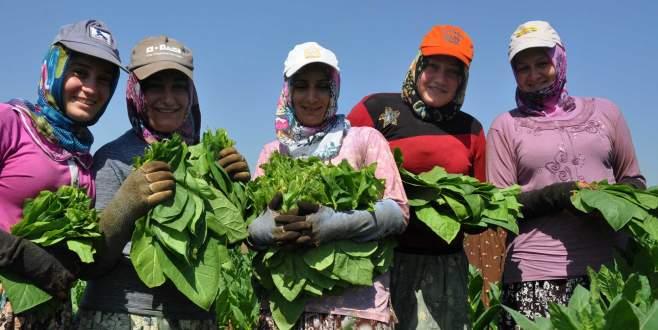 Bursa'da tütün hasadı başladı
