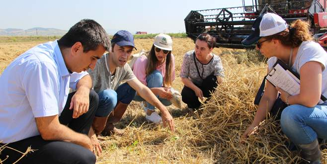 Buğday hasadı mercek altında