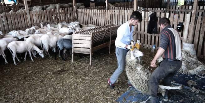 Koyun kırkımında hijyene dikkat