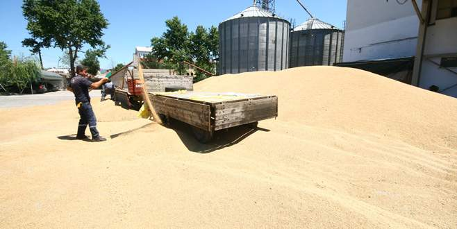 Buğdaya süne darbesi