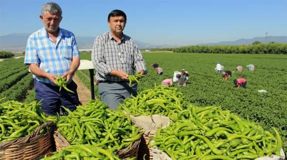 Çiftçi biberden umutlu