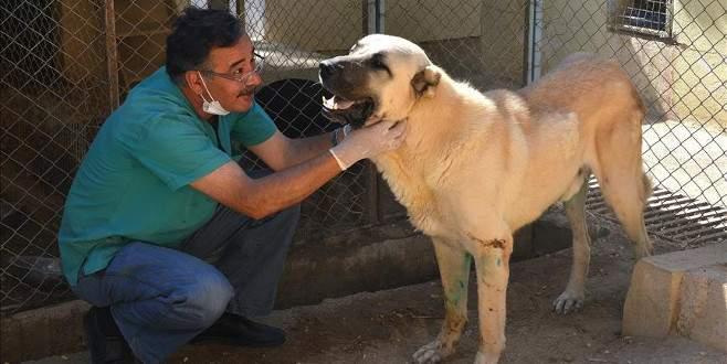 Felçli sokak köpeği 'Dost' 4 aylık tedaviyle yürütüldü