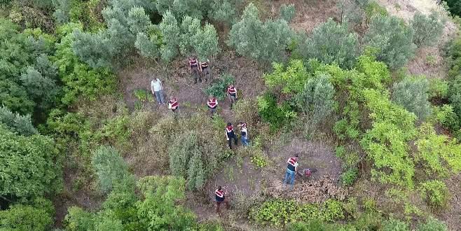 Bursa'da Jandarma, kamu arazisine ekilen keneviri drone ile tespit etti