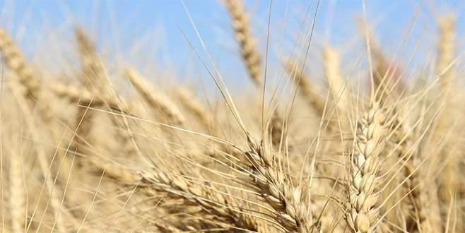 Milli buğdaya 4 yeni çeşit