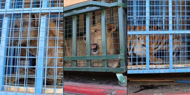 Suriye'deki yaban hayvanları Bursa'ya getirildi