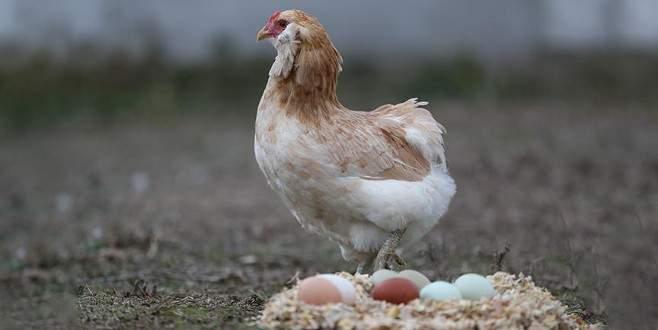 Avustralya'da gezen tavuk yumurtası aldatmacasına ceza