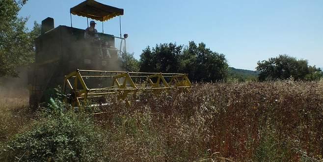 Bilecik'te karabuğday hasadı başladı