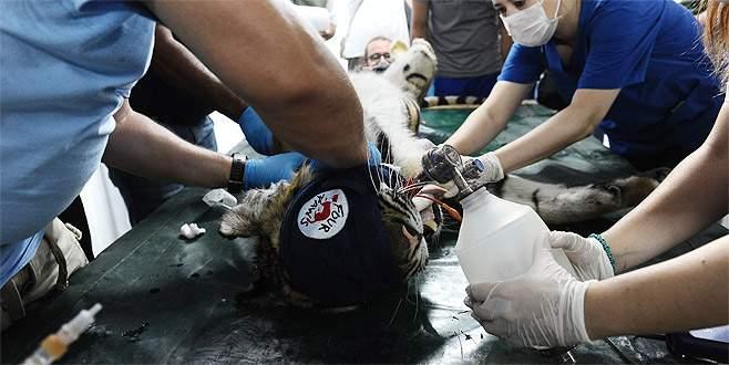 Kalbi duran savaş mağduru kaplan Bursa'da hayata döndürüldü