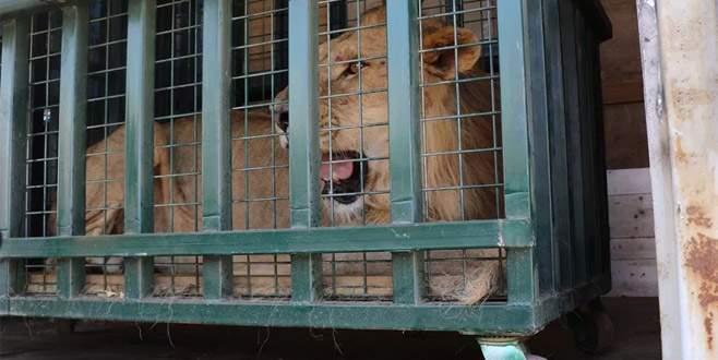 Yabani hayvanların Bursa'ya getirilme görüntüleri paylaşıldı