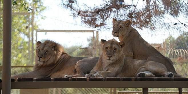 Antalya'nın aslan 'Eto'o'suna ziyaretçi ilgisi