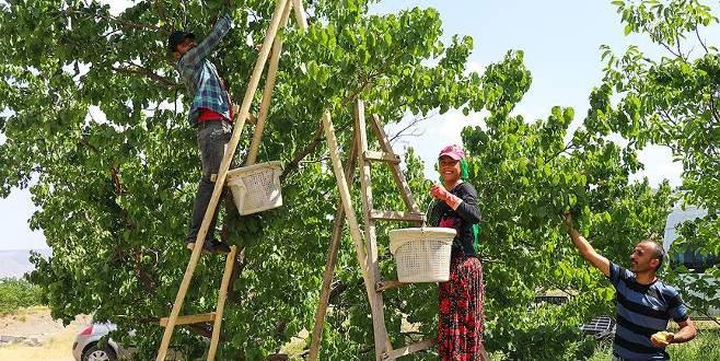 'Doğu'nun Çukurovası' mevsimlik işçilerin ekmek kapısı