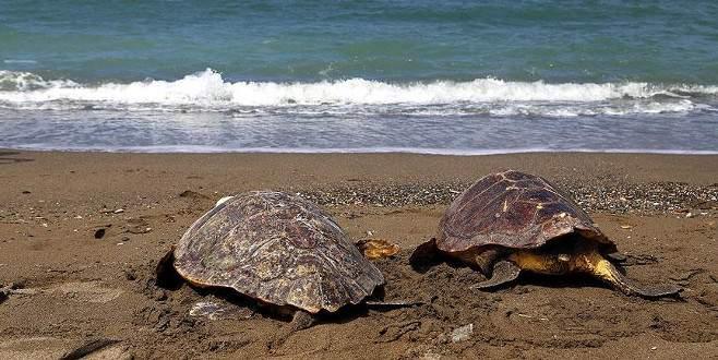 Deniz kaplumbağaları doğal ortamlarına bırakıldı