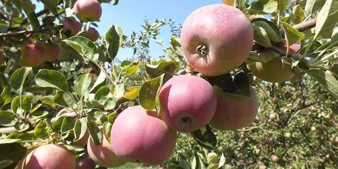 Yaylalarda elma hasadı hazırlığı
