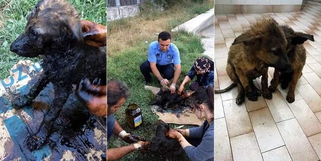 Zifte bulanan yavru köpekleri zabıta kurtardı