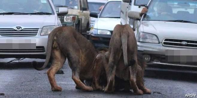 18 yaşındaki genç aslanların pençesinden kurtulamadı