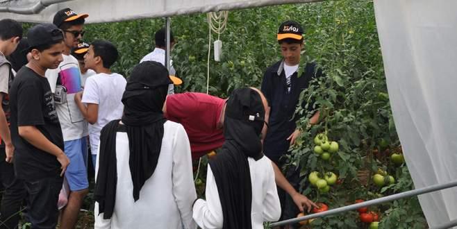 Ummanlı turistlerden İnegöl'de domates hasadı