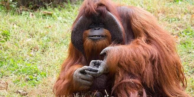 'İşaret dili'ni kullanan orangutan 39 yaşında öldü