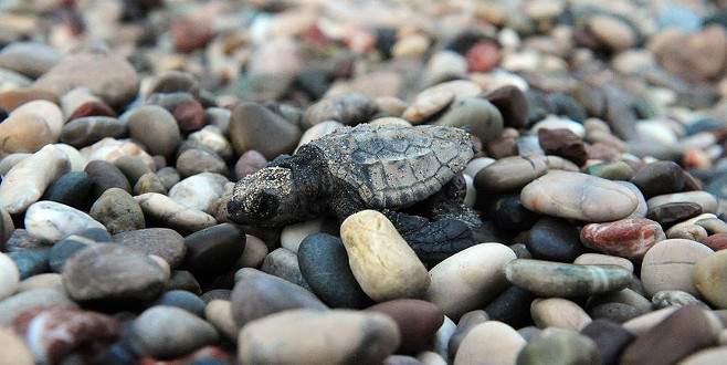 Kemer'de yavru caretta carettalar denizle buluştu