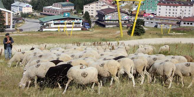 Bursa'daki bu koyunlar en lüks yerde otluyor
