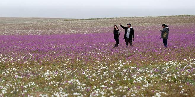 Dünyanın en kurak çölü Atacama çiçek tarlasına döndü