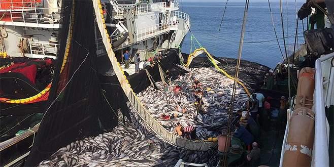 Moritanya balıkları Karadeniz hamsisini kurtaracak