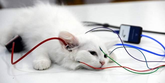 Van kedilerine 'işitme testi' yapılıyor
