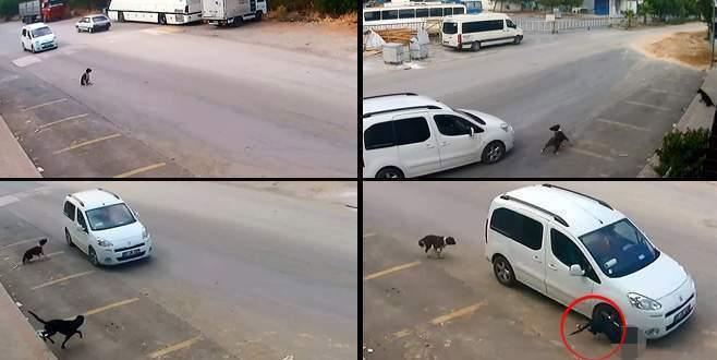 Aracıyla köpeği ezen sürücüye bir şok daha!