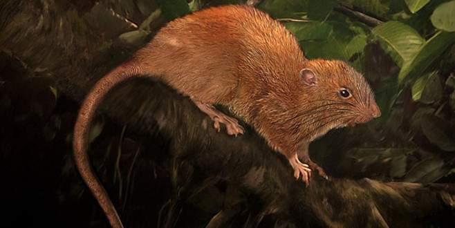 Ağaçta yaşayan dev sıçan bulundu! Boyu 45 santimetre…