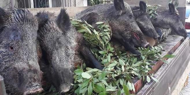 Vurdukları domuzlarla tören geçişi yaptılar, tüfek ödüllerini aldılar