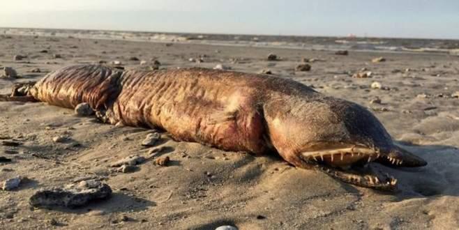 Harvey Kasırgası'yla karaya vuran ender deniz canlısı