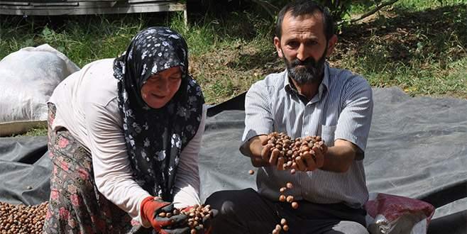 İnegöl fındığı Karadeniz'e rakip