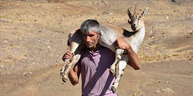 Yaralı dağ keçisini 17 kilometre sırtında taşıdı