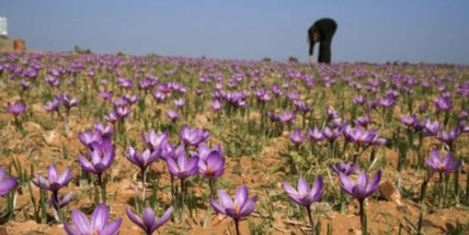 Safran üretiminde sıra Bulgaristan'da