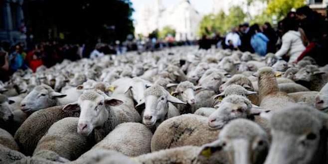Binden fazla koyun şehre indi