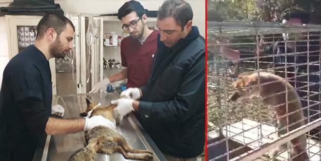Yaralı tilki tedaviye alındı