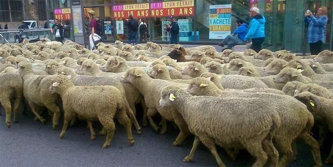 Koyunlar kurtları protesto için yürüdü