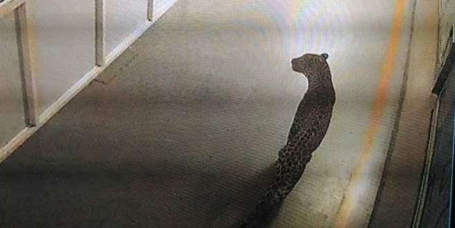 Otomobil fabrikasına giren leopar, üretimi durdurdu
