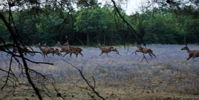 Bursa'da aç kalan köpekler geyikleri yedi
