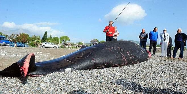 5 metrelik ölü balina kıyıya vurdu