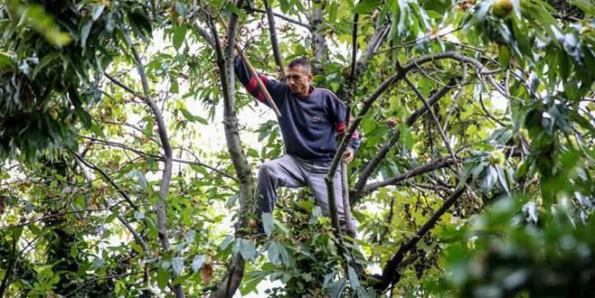 Yevmiyelerini ağaçtan çıkarıyorlar