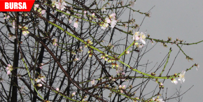 Ocak ayında çiçek açan bademlere kar yağdı