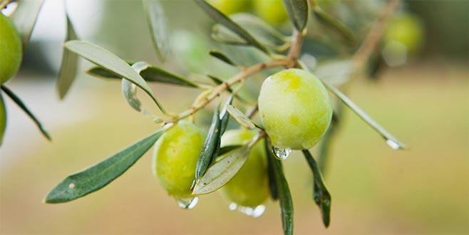 Zeytin yaprağı mucizesi