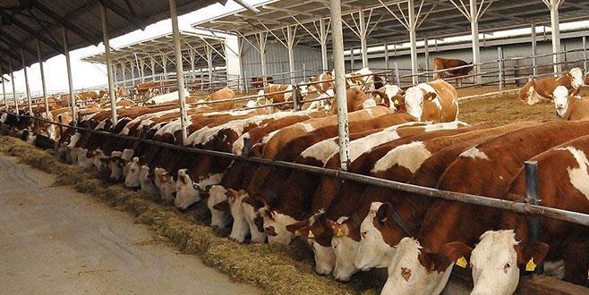 60 bin kesimlik sığır ithal edilecek